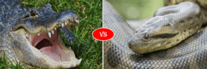 alligator vs anaconda