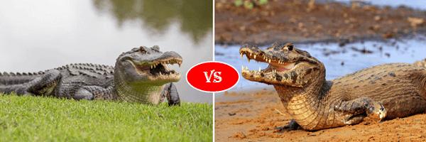 alligator vs caiman