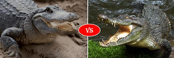 alligator vs crocodile