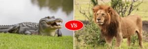 alligator vs lion