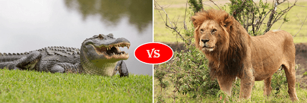 alligator vs lion