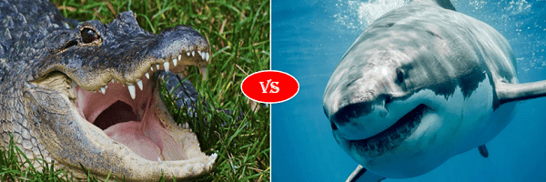 alligator vs shark