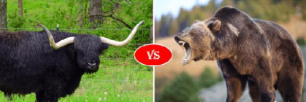bull vs grizzly bear