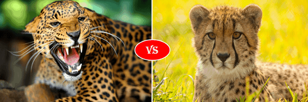 cheetah vs jaguar