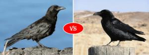 crow vs raven