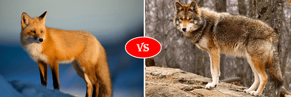fox vs coyote