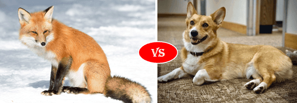 Fox vs dog