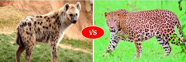 hyena vs leopard