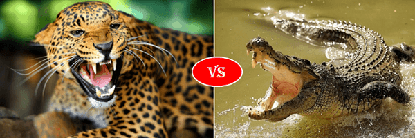 jaguar vs crocodile