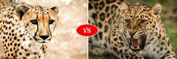 Leopard vs Cheetah fight comparison- who will win?