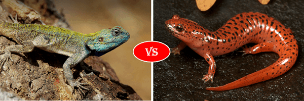 lizard vs salamander