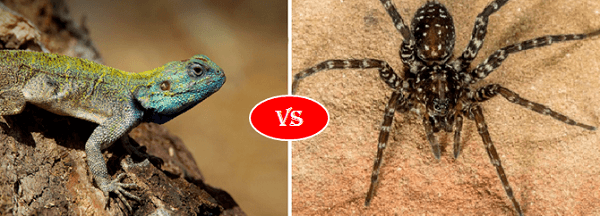 lizard vs spider