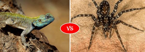 lizard vs spider