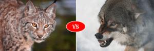 lynx vs gray wolf