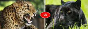 panther vs leopard