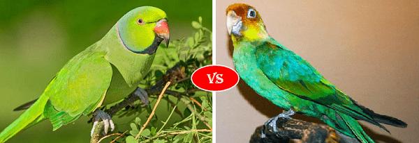parrot vs parakeet