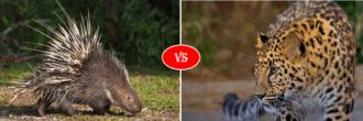 porcupine vs leopard