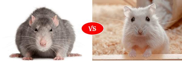 rat vs hamster