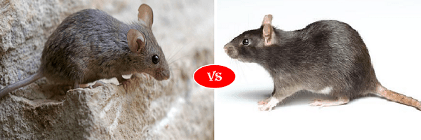 rat vs mice
