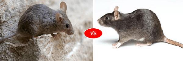 rat vs mice