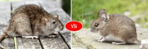 rat vs mouse
