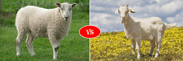 sheep vs goat