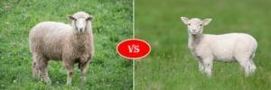 sheep vs lamb