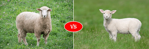 sheep vs lamb