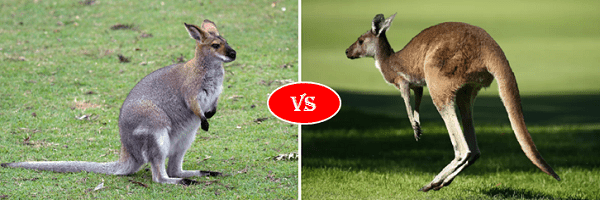 wallaby vs kangarro