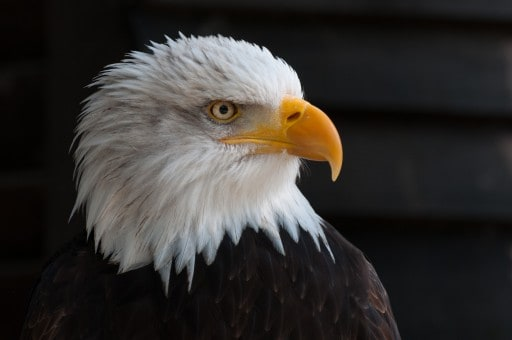 Bald eagle HD wallpaper