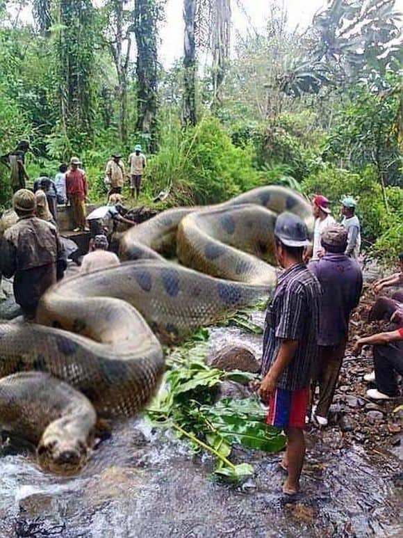 Biggest snake- Anaconda
