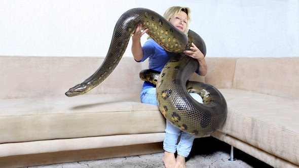 Anaconda as pet
