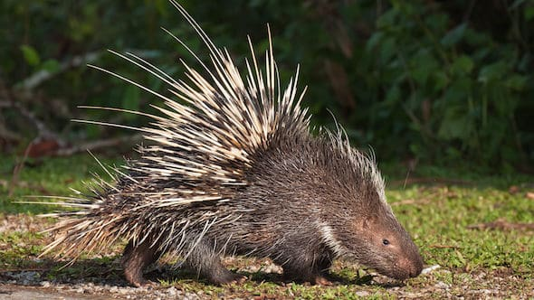Porcupine rare HD