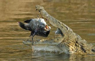 crocodileabout to eat a fish