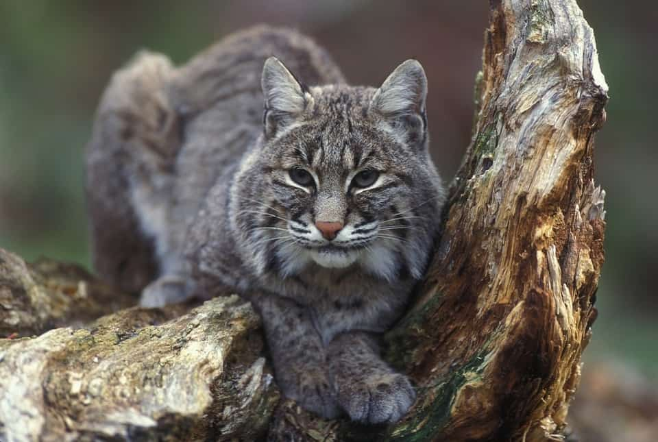 Bobcat ready to jump on food