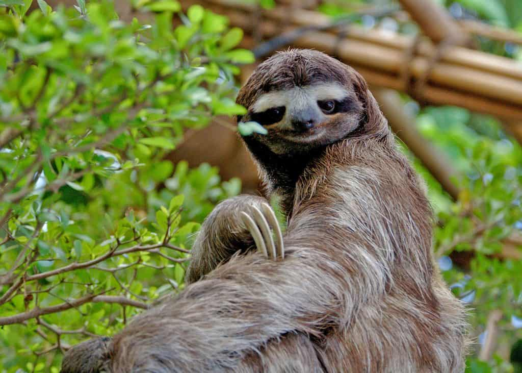 What are the interesting facts of Sloth?