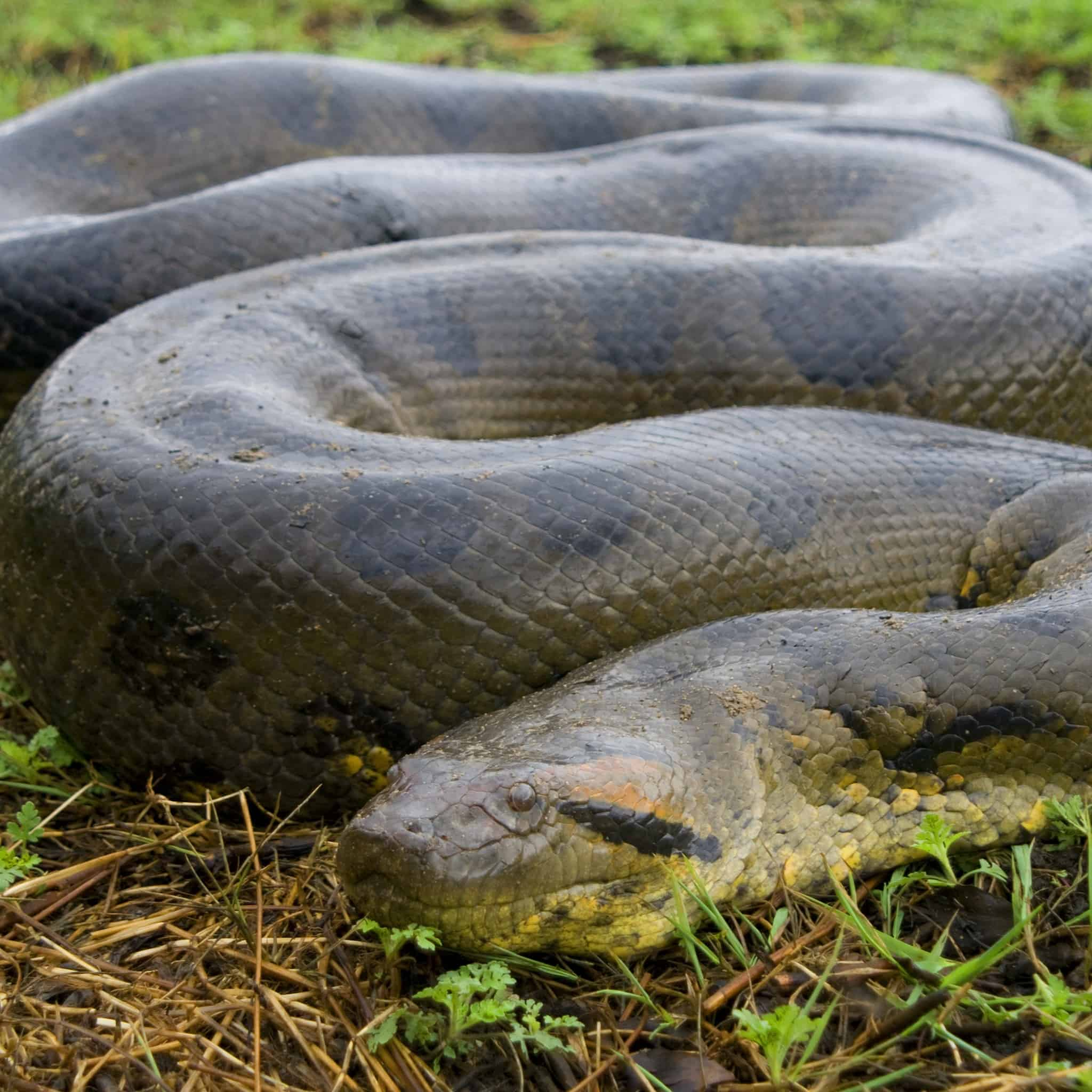 Green Anaconda- biggest snake
