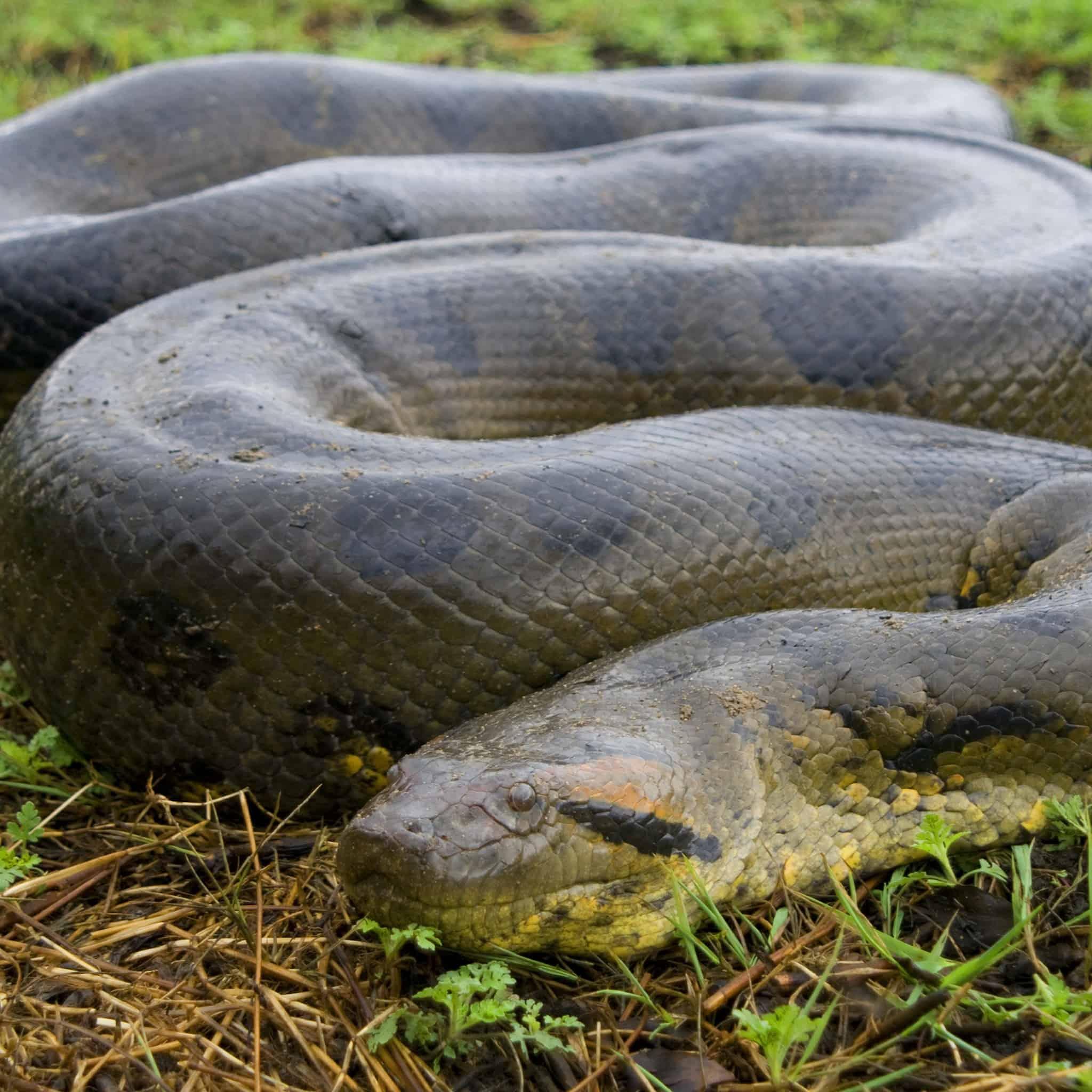 Green Anaconda- biggest snake