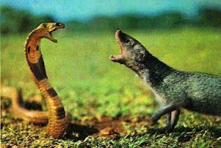 Mangoose vs cobra