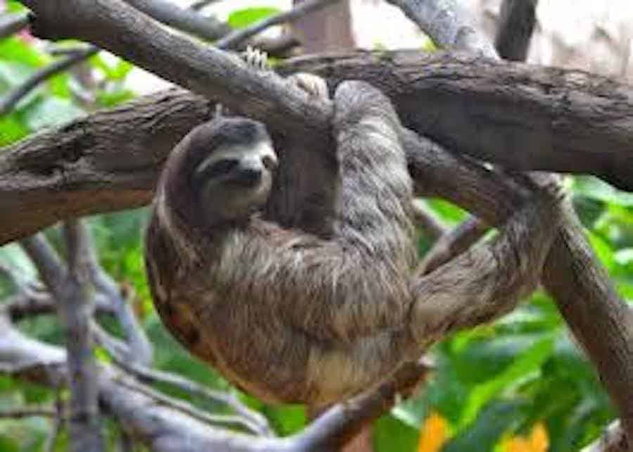 Sloth hanging on tree