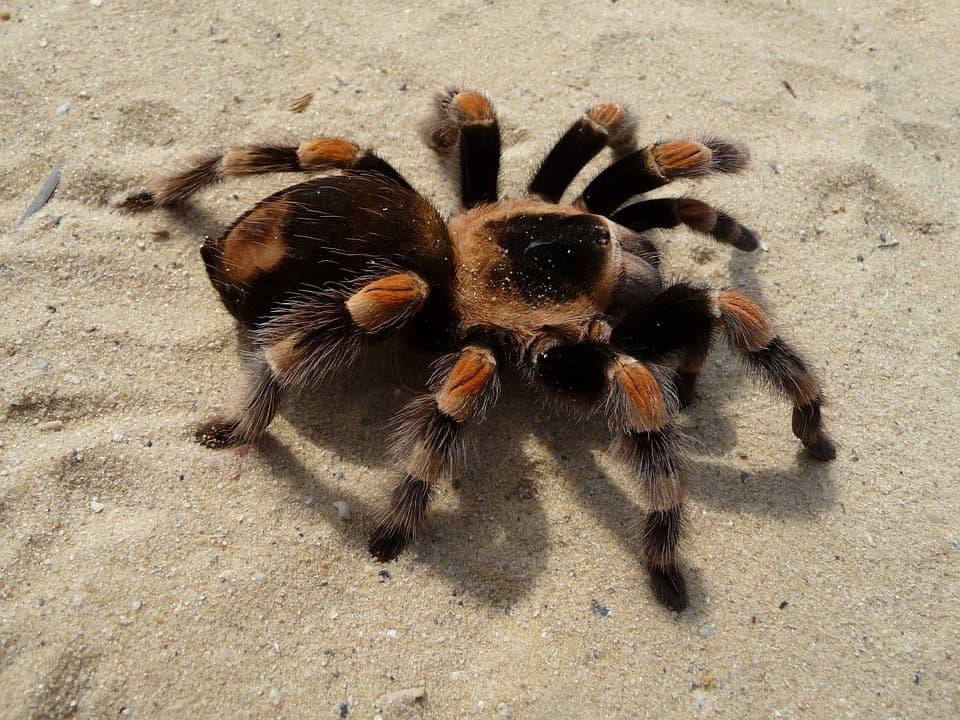Taruntula spider HD