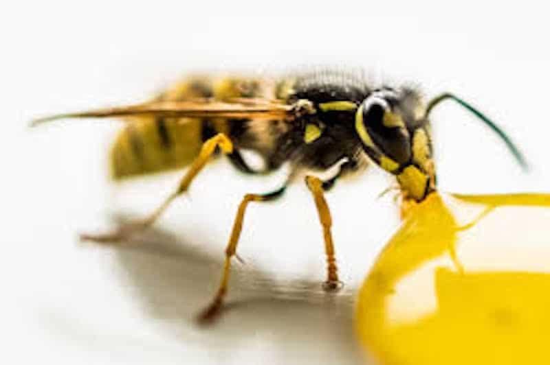 Yellow Wasp HD