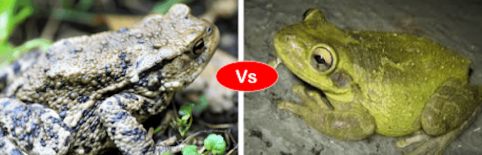 Frog vs Toad fight