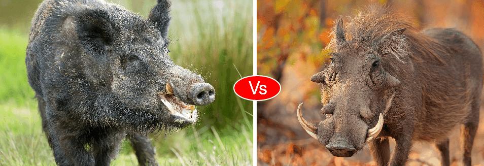 Warthog vs Boar vs Pig