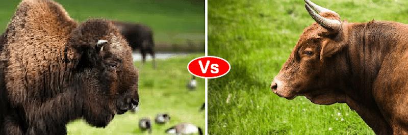 Ox vs yak vs bison vs bull