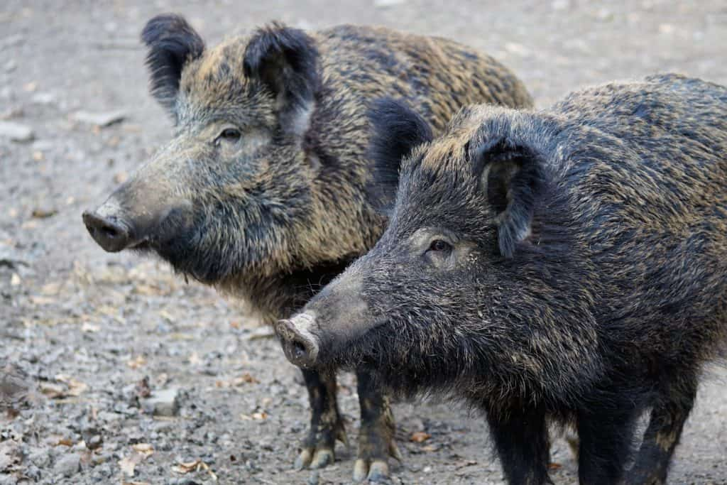 How Does a Boar look like?