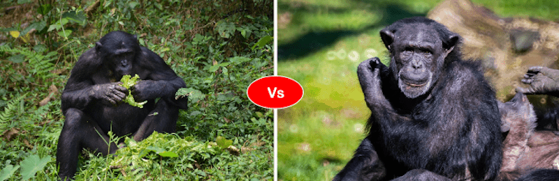 Bonobo vs chimpanzee