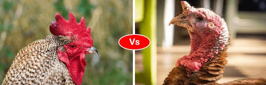 Chicken vs turkey fight comparison