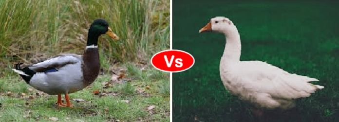 duck vs goose
