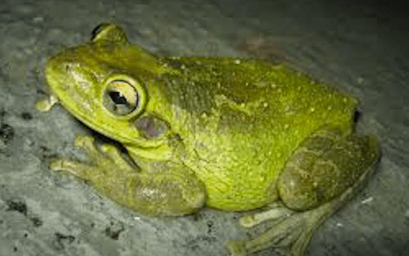 Rare green frog